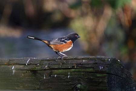 spotted towhee sitting on alog