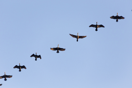 waterbird: double crested cormorant flying with blue sky