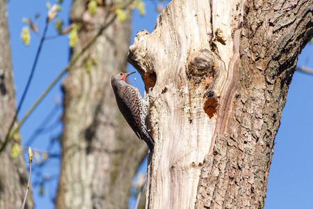 flicker: Northern Flicker, a woodpecker, at a cavity nest hole in the tree trunk.
