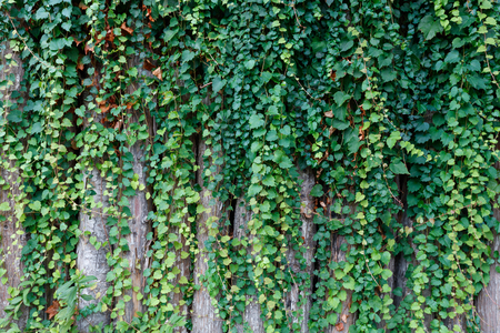 ivy wall: green ivy plant growing on wooden fence