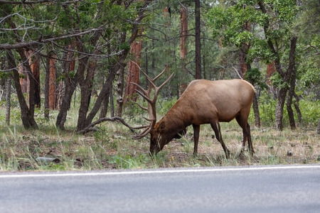 male animal: male elk at grand canyon national park. Stock Photo