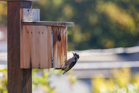 downy woodpecker: male downy woodpecker and homemade wooden birdhouse