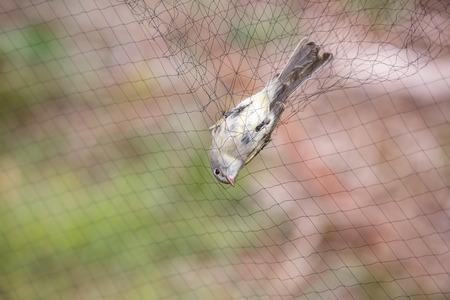 鳥が鳴っているため、ネットで太平洋斜面サンコウチョウ。