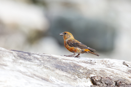 A red crossbill perches on a log. Vancouver, Canada. Stock Photo