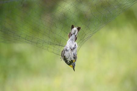 鳥が鳴っているため、ネットで黄色い rumped ウグイス。 写真素材