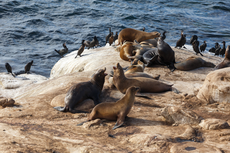 cormorants: California Sea Lions and Brandts Cormorants on the rocks at La Jolla Cove, San Diego,
