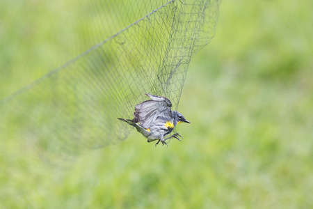 trapped: Yellow-rumped Warbler in the net, for Bird Ringing. Stock Photo