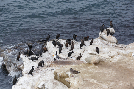 cormorants: Brandts Cormorants (Phalacrocorax penicillatus), la jolla beach, California, USA