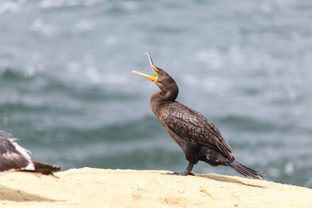 cormorants: Double-crested Cormorant , la jolla beach, California, USA