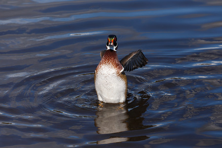 male animal: Male Wood Duck Floating in the water