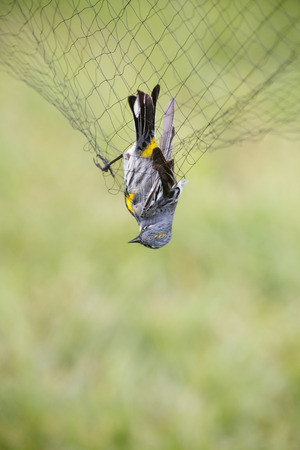 banding: Yellow-rumped Warbler in the net, for Bird Ringing. Stock Photo