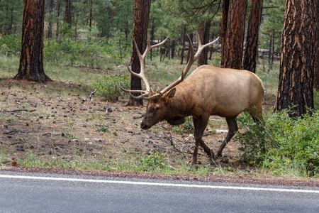 cervus: male elk
