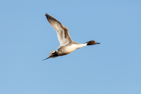 northern pintail, Vancouver BC Canada Stock Photo