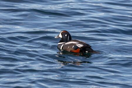 arlecchino: Harlequin Duck - Histrionicus, Vancouver Canada