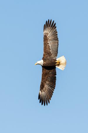 Bald Eagle in Flight , Vancouver BC Canada