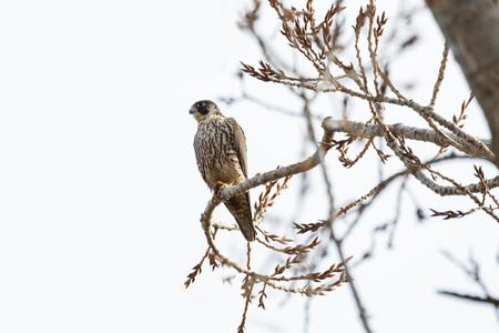 Peregrine falcon perched on tree, Vancouver BC Canada