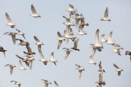 flock of various species of Gulls in flight, Vancouver BC Canada Stok Fotoğraf