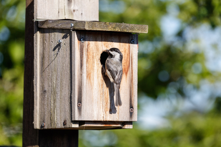birdhouse and Black capped Chickadee, Vancouver BC Canada. Stock Photo