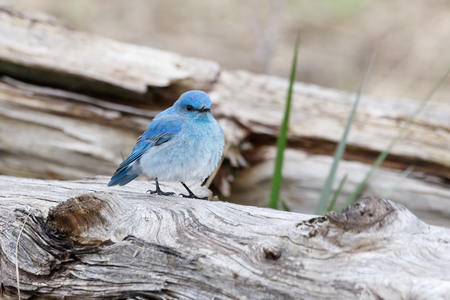 Male mountain bluebird at Vancouver BC Canada,