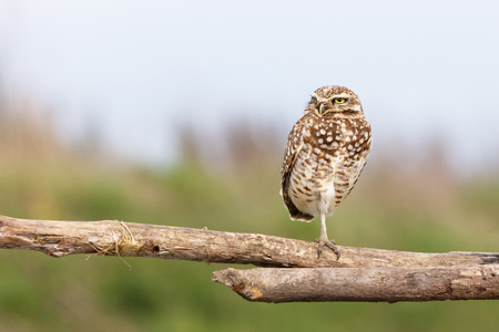 Burrowing Owl at Vancouver BC Canada,  Apr. 2017