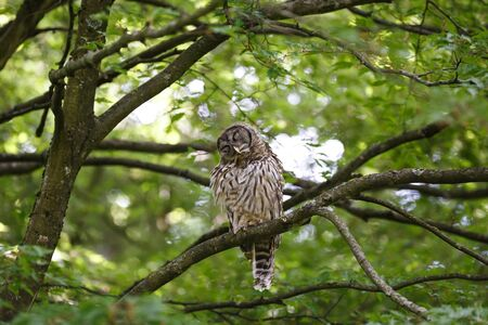 juvenile barred owl at Vancouver BC Canada Stock Photo