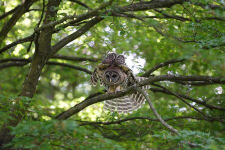 juvenile barred owl at Vancouver BC Canada Stock Photo