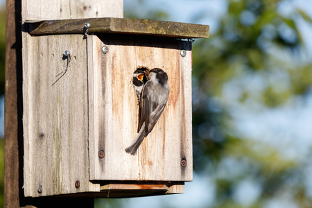 birdhouse and Black capped Chickadee feeding young bird, Vancouver BC Canada.