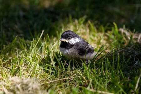 chicks: Black capped Chickadee, young bird, Vancouver BC Canada.