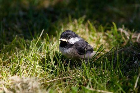 pollitos: Chickadee cubierto negro, pájaro joven, Vancouver AC Canadá.