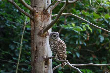 juvenile barred owl at Vancouver BC Canada 免版税图像