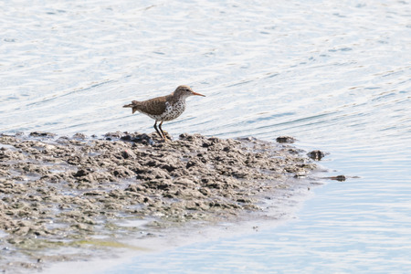 Spotted sandpiper bird at Vancouver BC Canada