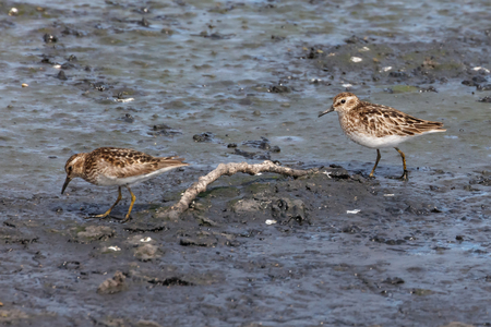 Least sandpiper bird at Vancouver BC Canada Stock Photo - 84787994