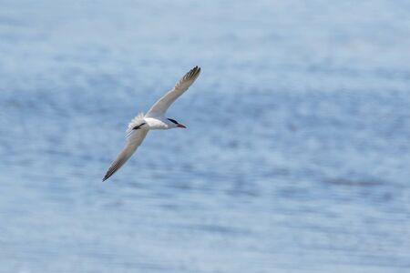 Caspian Tern bird à Vancouver BC Canada Banque d'images - 84868872