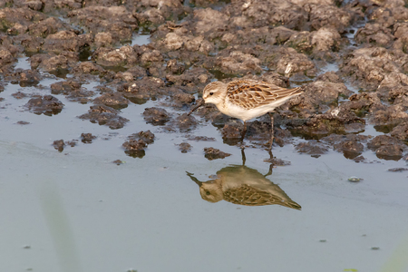western sandpiper bird at Vancouver BC Canada Stock Photo - 84788057