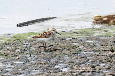 western sandpiper bird at Vancouver BC Canada