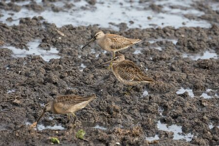 Long-billed dowitcher at Richmond BC Canada 2017 Sep. Stock Photo