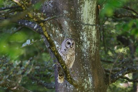 adult barred owl at Vancouver BC Canada