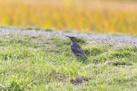 Northern flicker bird at Richmond BC Canada 2017 Oct.