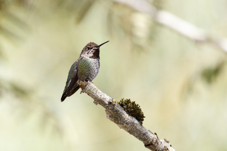 Annas Hummingbird at Delta BC Canada 2017 Oct. Stock Photo