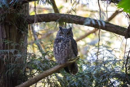 great horned owl at Delte BC Canada 2017 Oct.