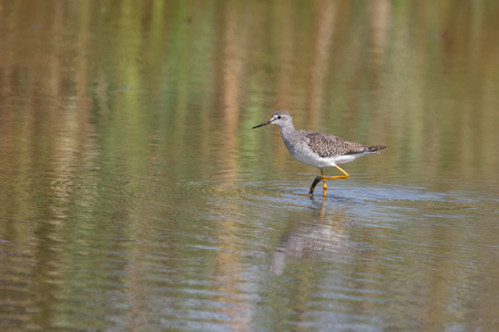 Greater yellowlegs bird at Vancouver BC Canada