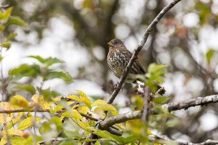 Fox sparrow bird at Delte BC Canada 2017 Oct.