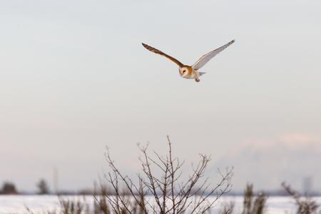 fliegende Schleiereule Hintergrund.
