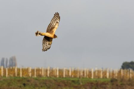 Northern harrier birdl hunting for food at BC Canada