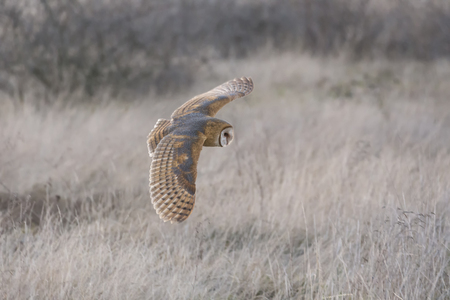 Barn owl hunting for food at Delta 72 st BC Canada