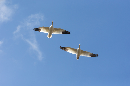 Flying snow goose migration at  BC Canada