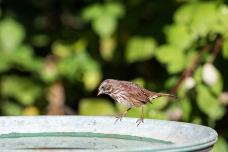 Song sparrow bird at richmond BC Canada Stockfoto - 99363398