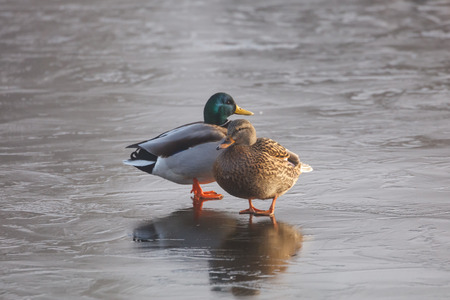Mallard duck on ice at BC Canada