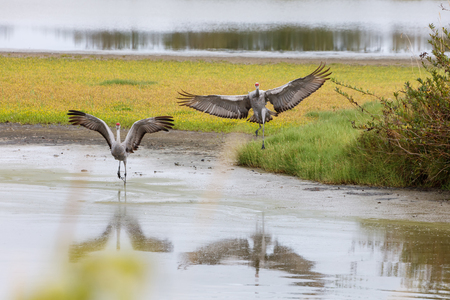 Sandhill crane bird at Delta BC Canada 2017 Oct.