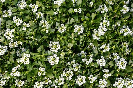 Easter Bonnet White Alyssum Plants, nature background top view. 스톡 콘텐츠 - 100638914